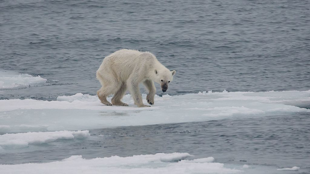 Endangered_arctic_-_starving_polar_bear.jpg